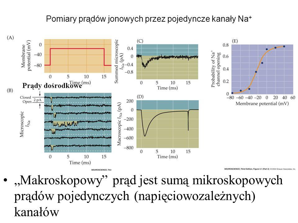Pomiary prądów jonowych przez pojedyncze kanały Na + Makroskopowy prąd jest sumą mikroskopowych prądów pojedynczych (napięciowozależnych) kanałów Prądy dośrodkowe