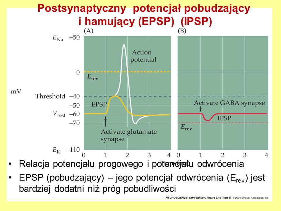 Postsynaptyczny potencjał pobudzający i hamujący (EPSP) (IPSP) Relacja potencjału progowego i potencjału odwrócenia EPSP (pobudzający) – jego potencjał odwrócenia (E rev ) jest bardziej dodatni niż próg pobudliwości