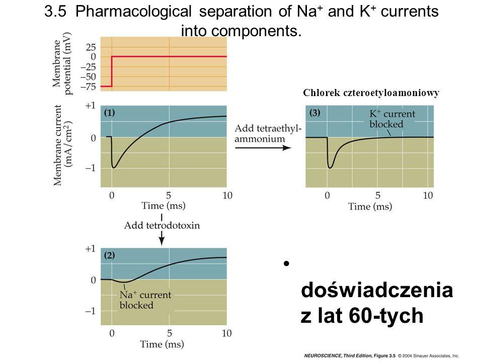 Potencjał spoczynkowy a stężenie jonów potasu Hodkin i Katz w 1949 r eksperymenty (na aksonie kałamarnicy) ze zmianą stężenia pozakomórkowego K Potencjał równowagi zachowuje się prawie zgodnie z równaniem Nernsta Uwaga: stężenie wewnątrzkomórkowe potasu u kałamarnicy ok.