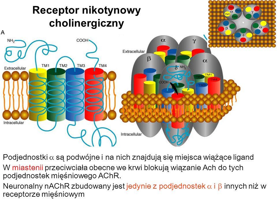 Receptor nikotynowy cholinergiczny Podjednostki są podwójne i na nich znajdują się miejsca wiążące ligand W miastenii przeciwciała obecne we krwi blokują wiązanie Ach do tych podjednostek mięśniowego AChR.
