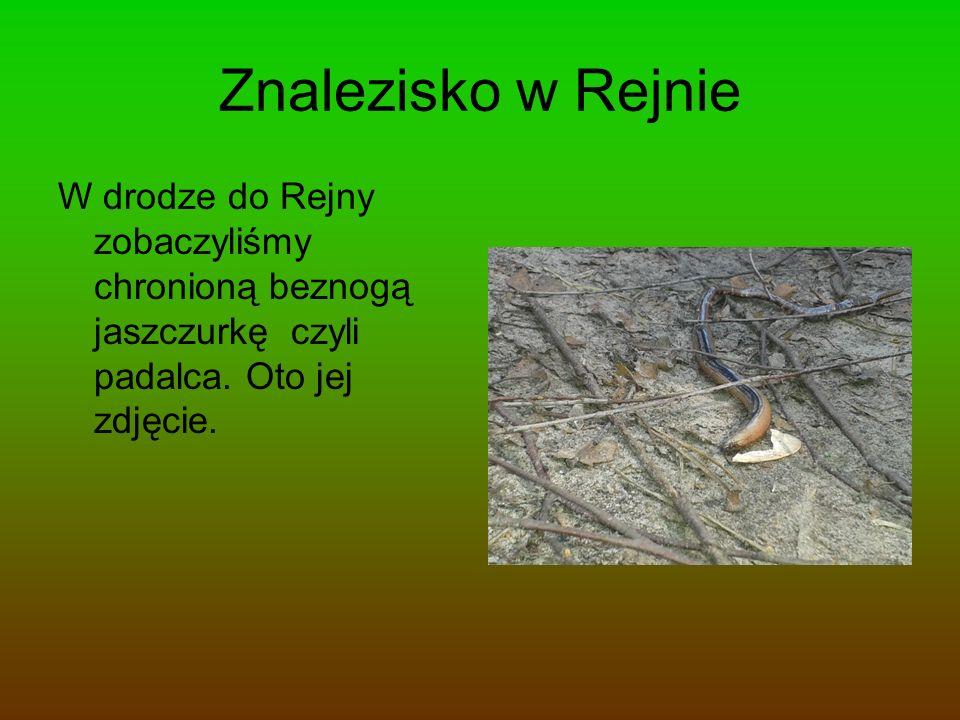 Znalezisko w Rejnie W drodze do Rejny zobaczyliśmy chronioną beznogą jaszczurkę czyli padalca. Oto jej zdjęcie.