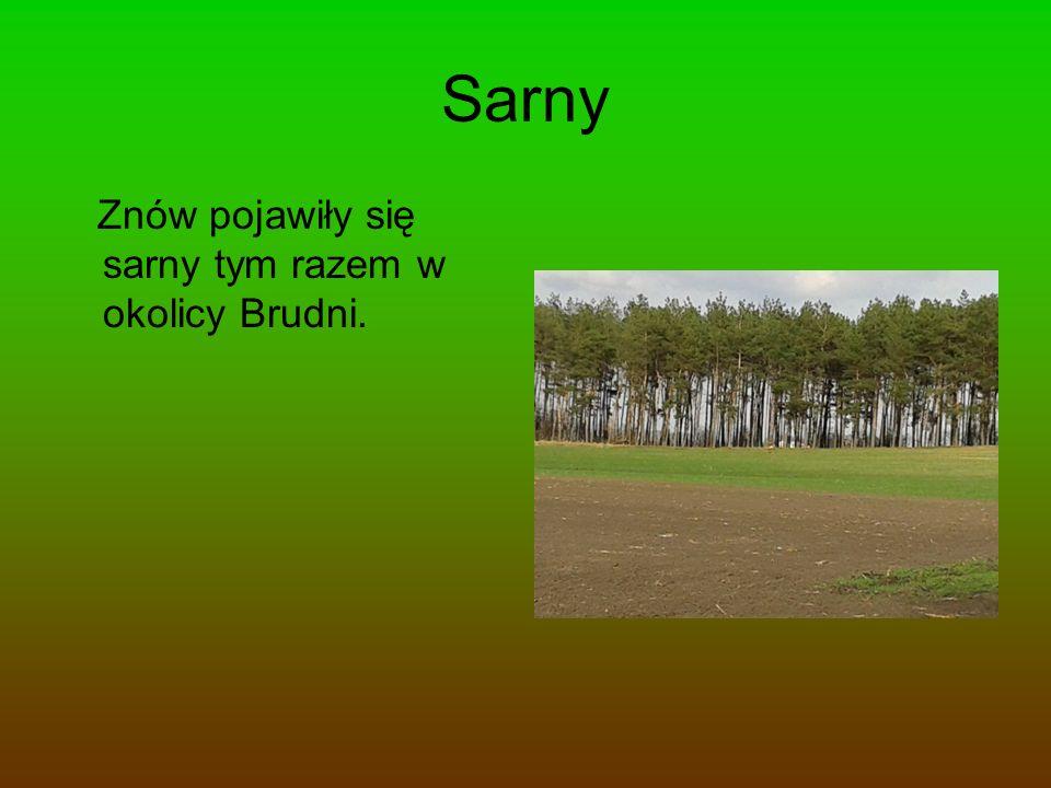 Sarny Znów pojawiły się sarny tym razem w okolicy Brudni.
