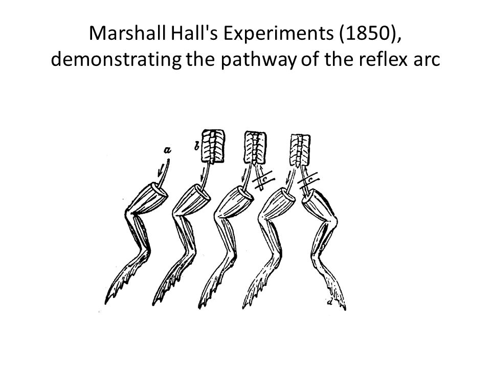 Marshall Hall's Experiments (1850), demonstrating the pathway of the reflex arc