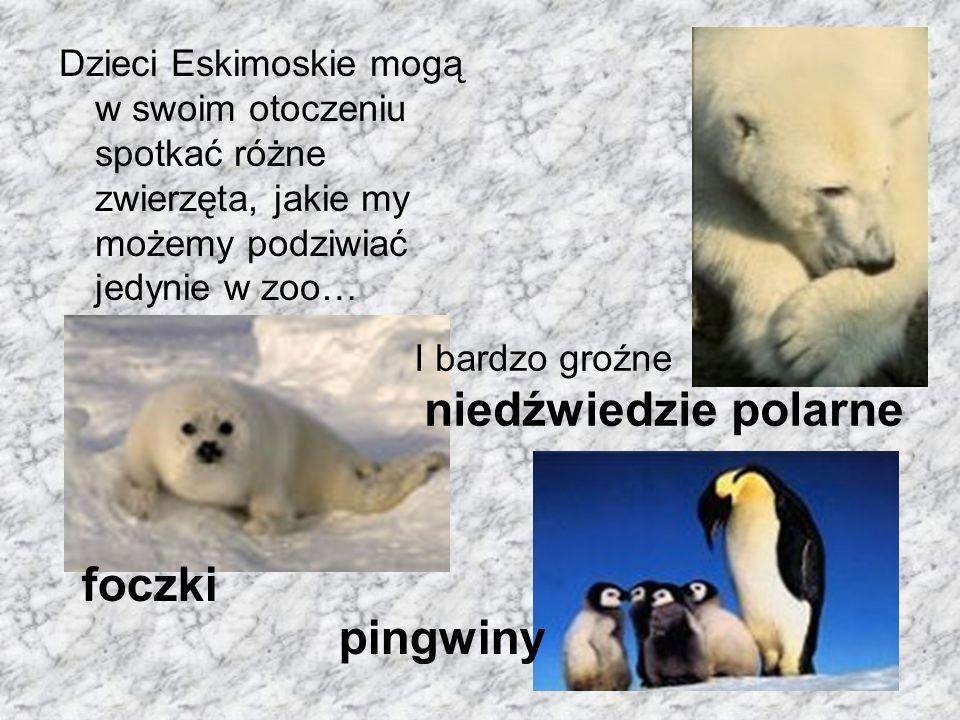Dzieci Eskimoskie mogą w swoim otoczeniu spotkać różne zwierzęta, jakie my możemy podziwiać jedynie w zoo… foczki pingwiny I bardzo groźne niedźwiedzi