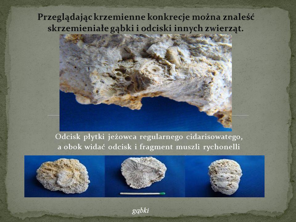 Odcisk płytki jeżowca regularnego cidarisowatego, a obok widać odcisk i fragment muszli rychonelli gąbki