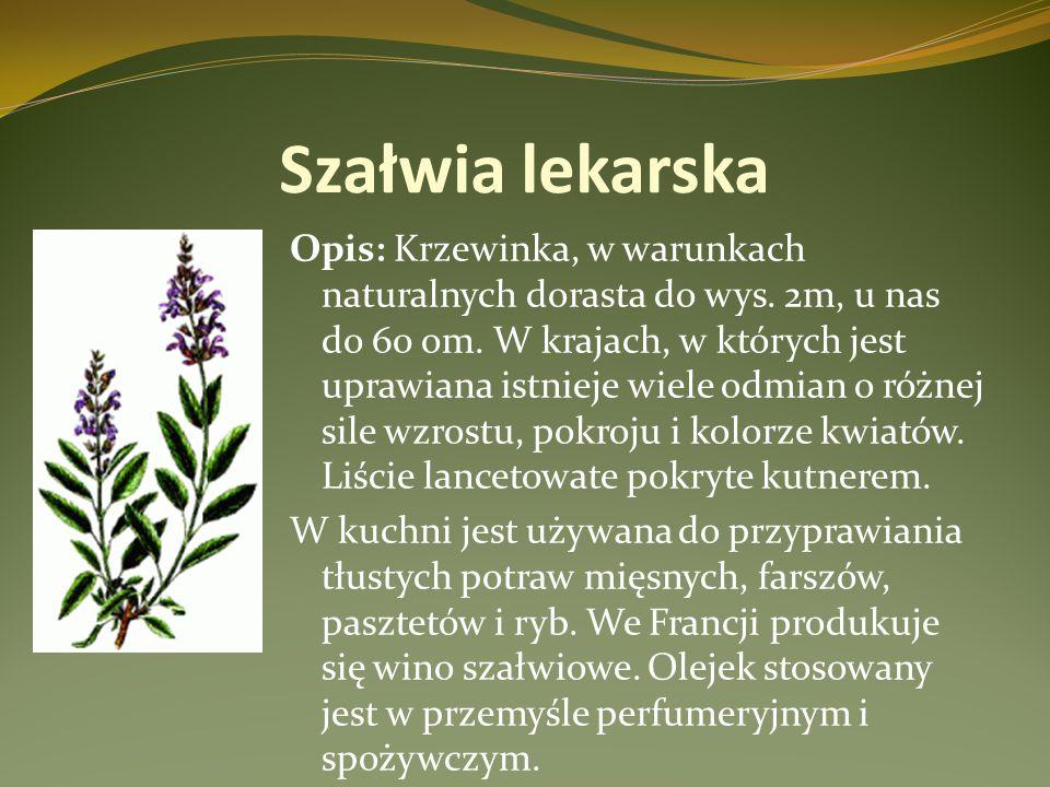 Szałwia lekarska Opis: Krzewinka, w warunkach naturalnych dorasta do wys. 2m, u nas do 60 om. W krajach, w których jest uprawiana istnieje wiele odmia