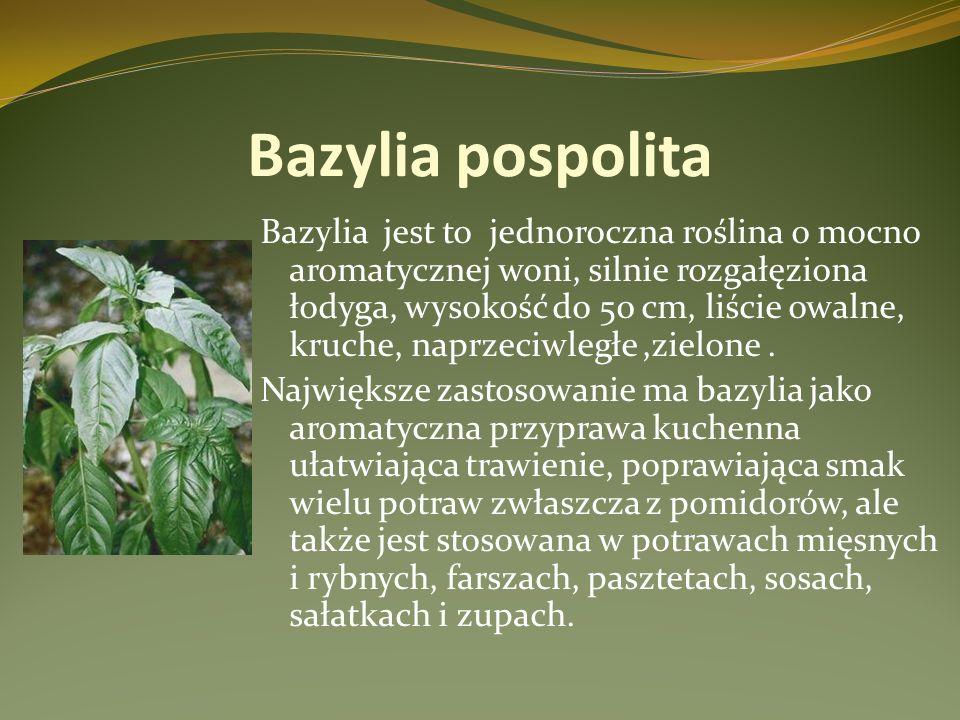 Bazylia pospolita Bazylia jest to jednoroczna roślina o mocno aromatycznej woni, silnie rozgałęziona łodyga, wysokość do 50 cm, liście owalne, kruche,