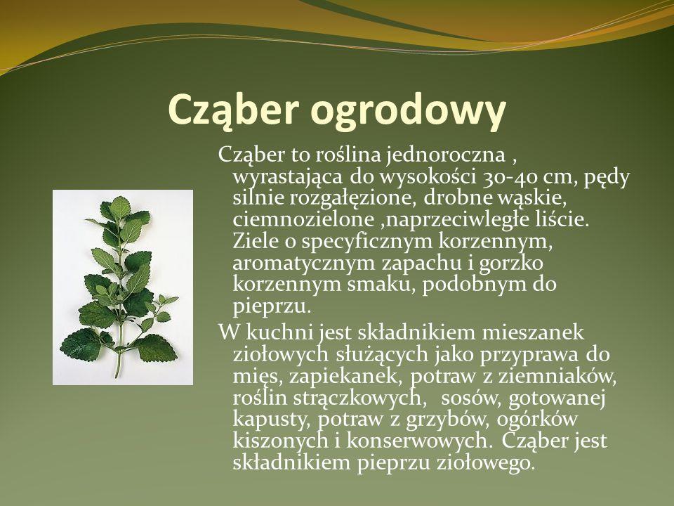 Cząber ogrodowy Cząber to roślina jednoroczna, wyrastająca do wysokości 30-40 cm, pędy silnie rozgałęzione, drobne wąskie, ciemnozielone,naprzeciwległ