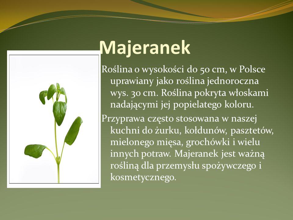 Majeranek Roślina o wysokości do 50 cm, w Polsce uprawiany jako roślina jednoroczna wys. 30 cm. Roślina pokryta włoskami nadającymi jej popielatego ko