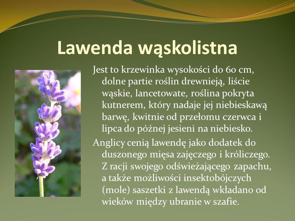 Lawenda wąskolistna Jest to krzewinka wysokości do 60 cm, dolne partie roślin drewnieją, liście wąskie, lancetowate, roślina pokryta kutnerem, który n