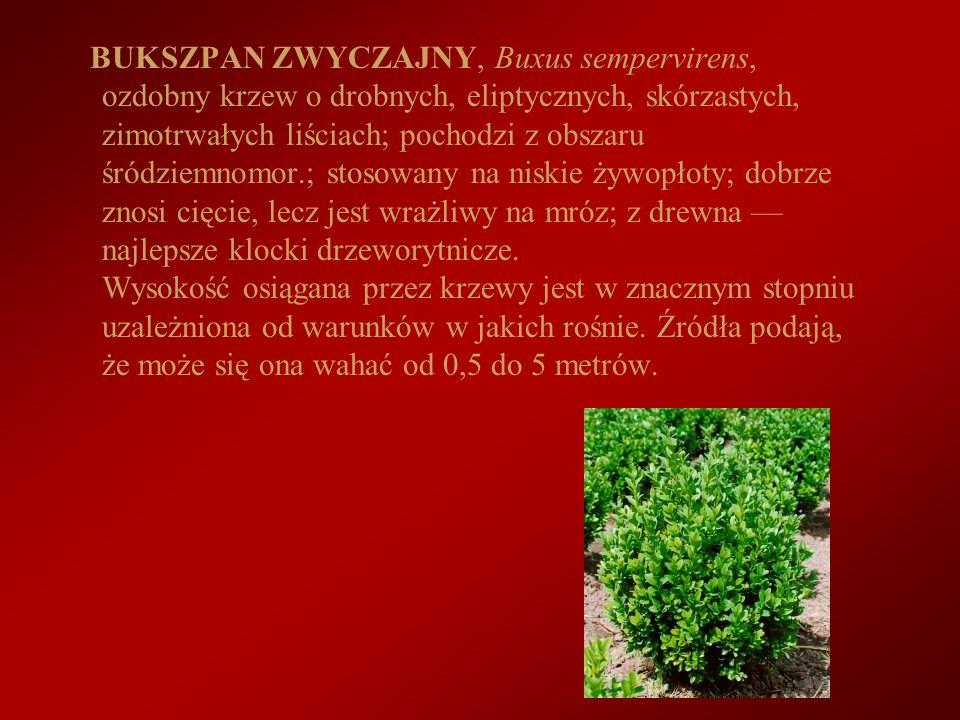BUKSZPAN ZWYCZAJNY, Buxus sempervirens, ozdobny krzew o drobnych, eliptycznych, skórzastych, zimotrwałych liściach; pochodzi z obszaru śródziemnomor.;