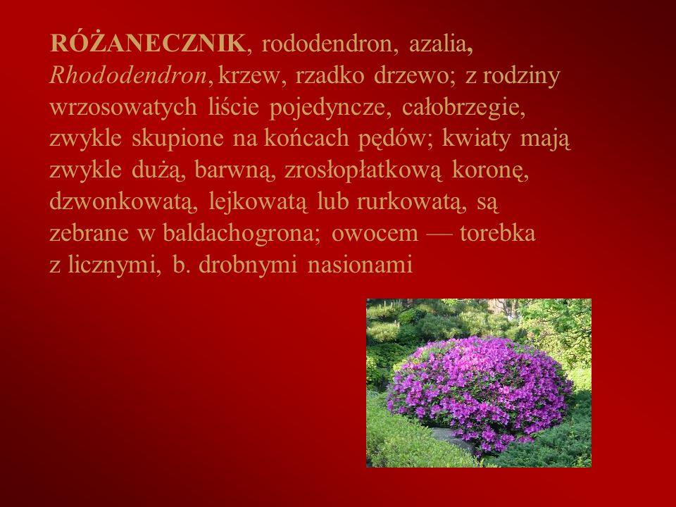 RÓŻANECZNIK, rododendron, azalia, Rhododendron, krzew, rzadko drzewo; z rodziny wrzosowatych liście pojedyncze, całobrzegie, zwykle skupione na końcac