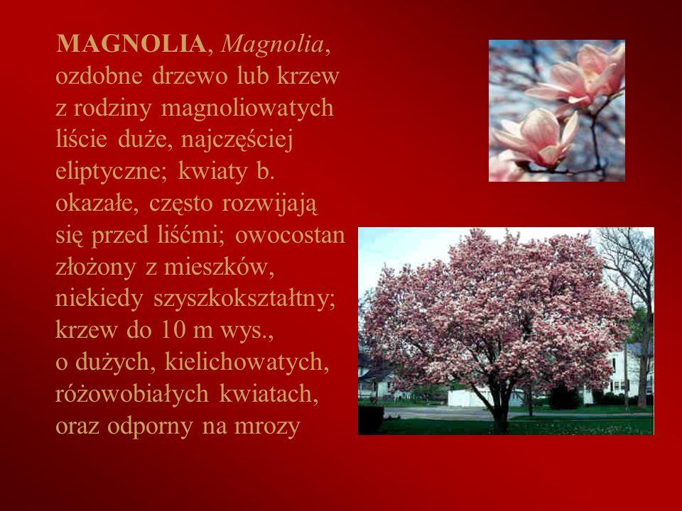 MAGNOLIA, Magnolia, ozdobne drzewo lub krzew z rodziny magnoliowatych liście duże, najczęściej eliptyczne; kwiaty b. okazałe, często rozwijają się prz