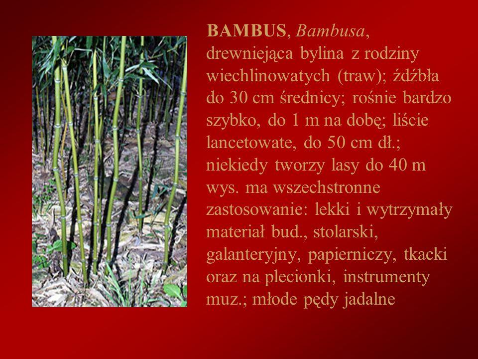 BAMBUS, Bambusa, drewniejąca bylina z rodziny wiechlinowatych (traw); źdźbła do 30 cm średnicy; rośnie bardzo szybko, do 1 m na dobę; liście lancetowa