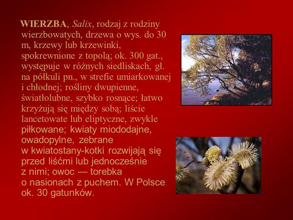 WIERZBA, Salix, rodzaj z rodziny wierzbowatych, drzewa o wys. do 30 m, krzewy lub krzewinki, spokrewnione z topolą; ok. 300 gat., występuje w różnych