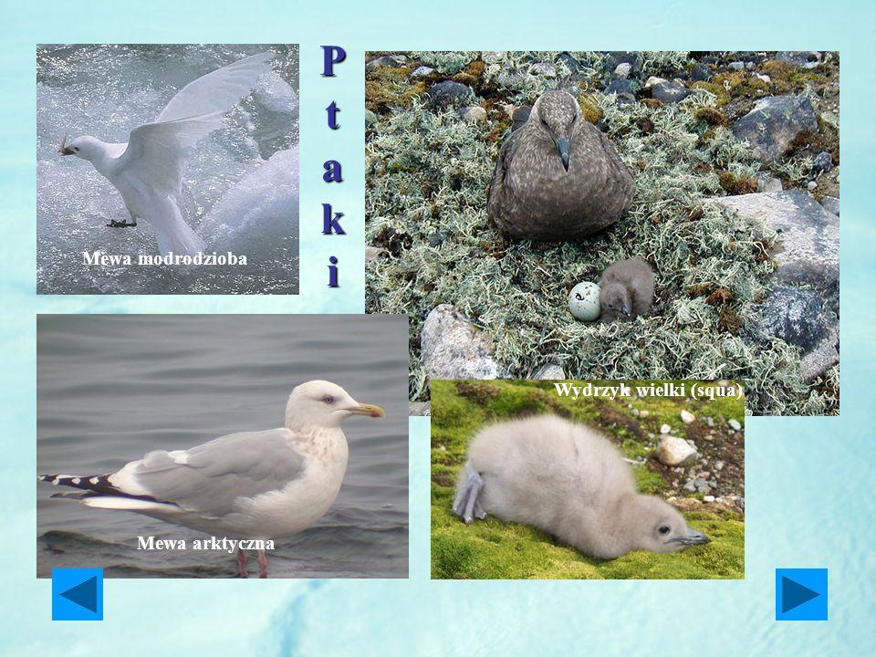 Mewa modrodzioba Mewa arktyczna PtakiPtakiPtakiPtaki Wydrzyk wielki (squa)
