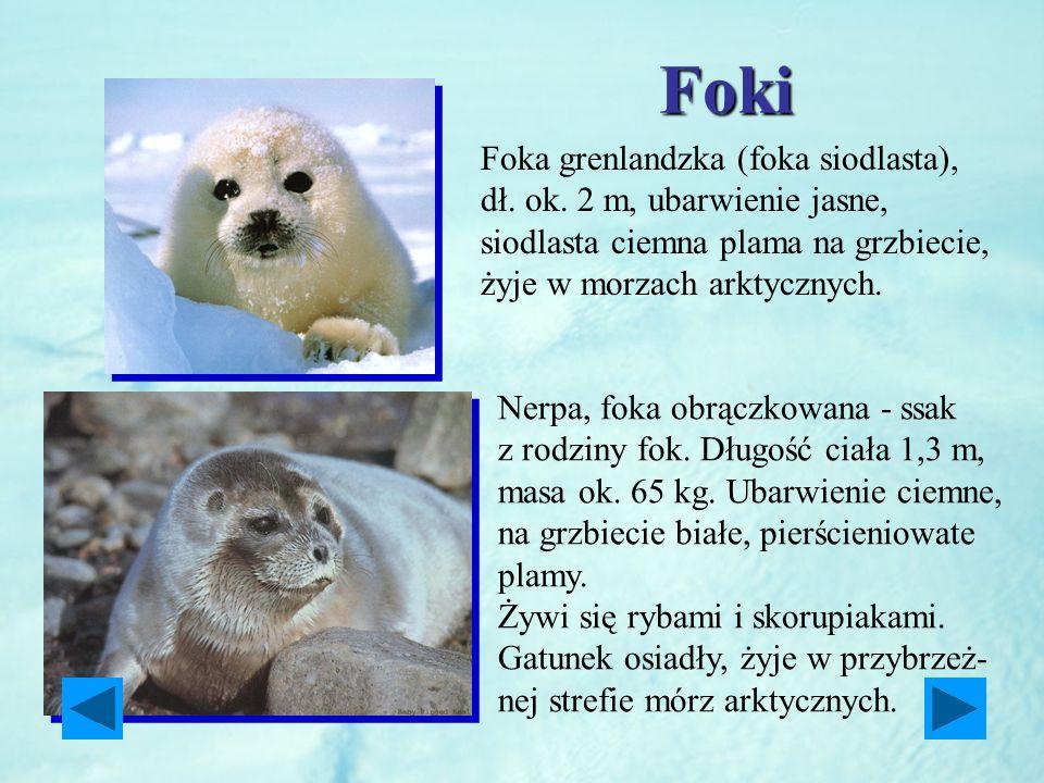Foki Foka grenlandzka (foka siodlasta), dł. ok. 2 m, ubarwienie jasne, siodlasta ciemna plama na grzbiecie, żyje w morzach arktycznych. Nerpa, foka ob