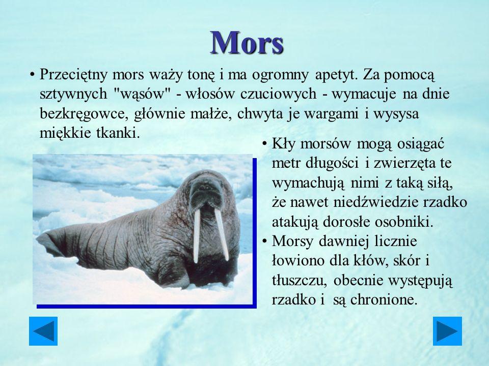 Mors Kły morsów mogą osiągać metr długości i zwierzęta te wymachują nimi z taką siłą, że nawet niedźwiedzie rzadko atakują dorosłe osobniki. Morsy daw