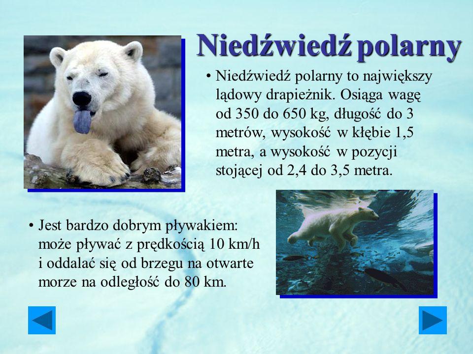 Niedźwiedźpolarny Niedźwiedź polarny Niedźwiedź polarny to największy lądowy drapieżnik. Osiąga wagę od 350 do 650 kg, długość do 3 metrów, wysokość w