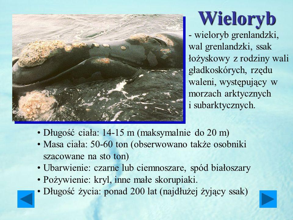 Wieloryb Długość ciała: 14-15 m (maksymalnie do 20 m) Masa ciała: 50-60 ton (obserwowano także osobniki szacowane na sto ton) Ubarwienie: czarne lub c