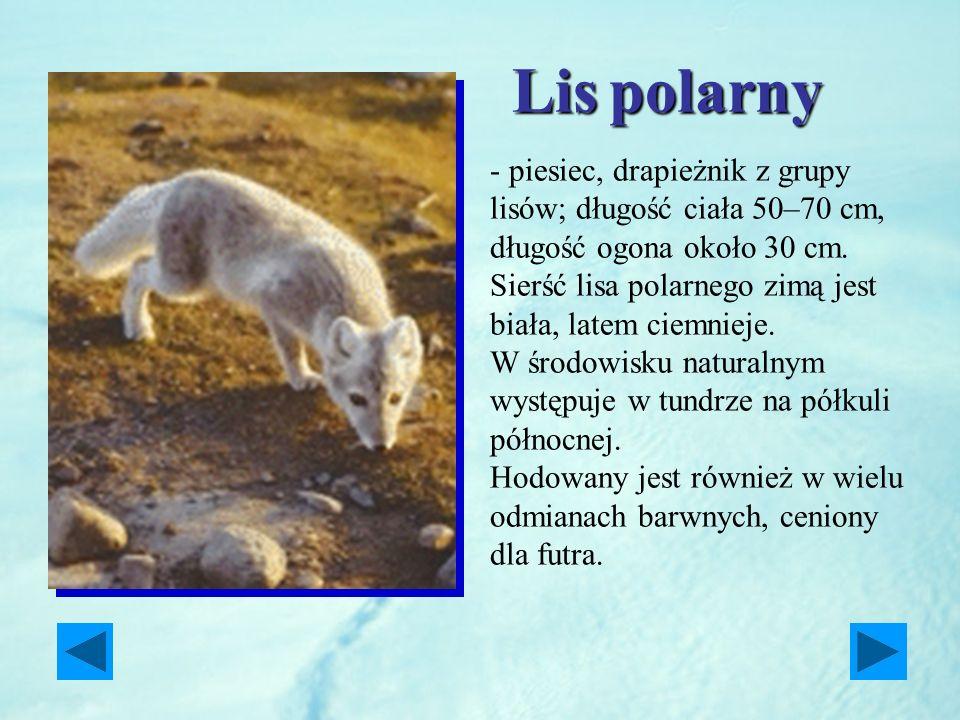 Lispolarny Lis polarny - piesiec, drapieżnik z grupy lisów; długość ciała 50–70 cm, długość ogona około 30 cm. Sierść lisa polarnego zimą jest biała,