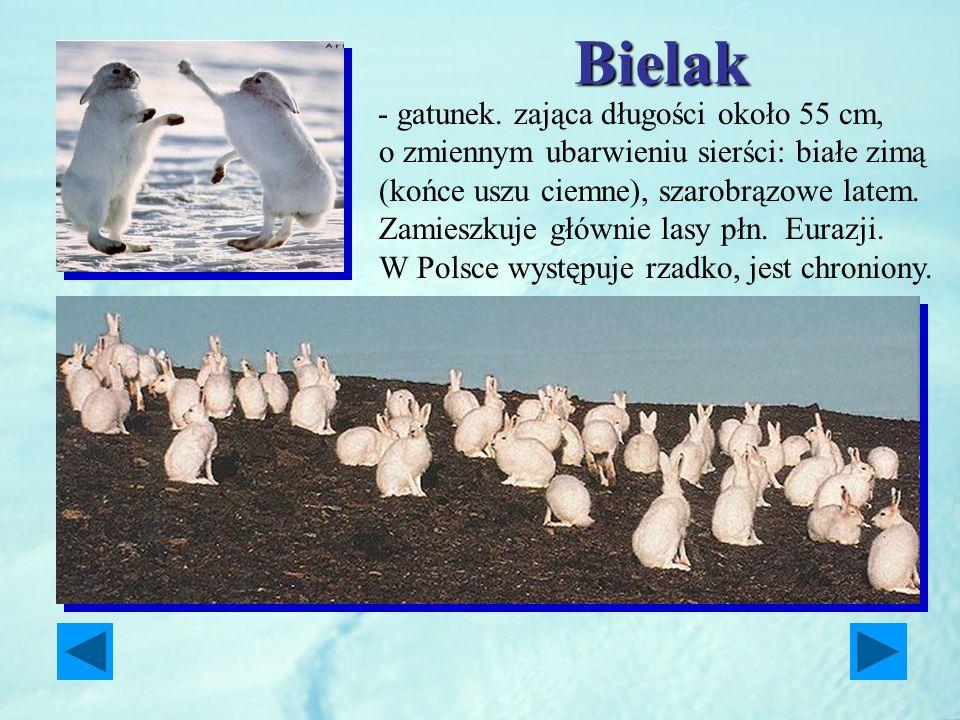 Bielak - gatunek. zająca długości około 55 cm, o zmiennym ubarwieniu sierści: białe zimą (końce uszu ciemne), szarobrązowe latem. Zamieszkuje głównie