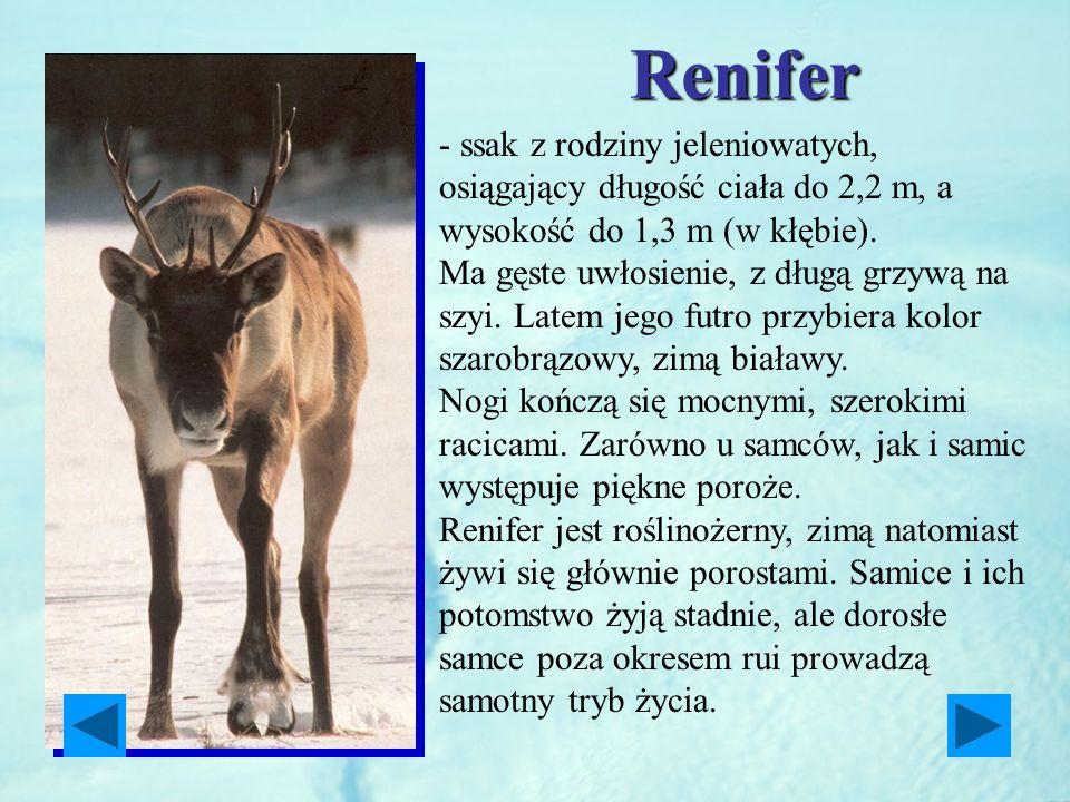Renifer - ssak z rodziny jeleniowatych, osiągający długość ciała do 2,2 m, a wysokość do 1,3 m (w kłębie). Ma gęste uwłosienie, z długą grzywą na szyi
