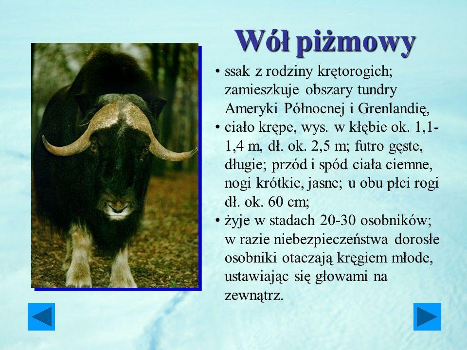 Wółpiżmowy Wół piżmowy ssak z rodziny krętorogich; zamieszkuje obszary tundry Ameryki Północnej i Grenlandię, ciało krępe, wys. w kłębie ok. 1,1- 1,4