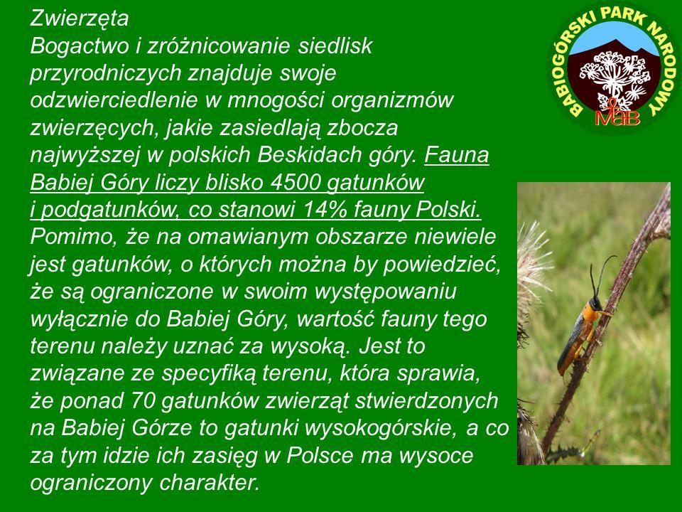 Zwierzęta Bogactwo i zróżnicowanie siedlisk przyrodniczych znajduje swoje odzwierciedlenie w mnogości organizmów zwierzęcych, jakie zasiedlają zbocza najwyższej w polskich Beskidach góry.
