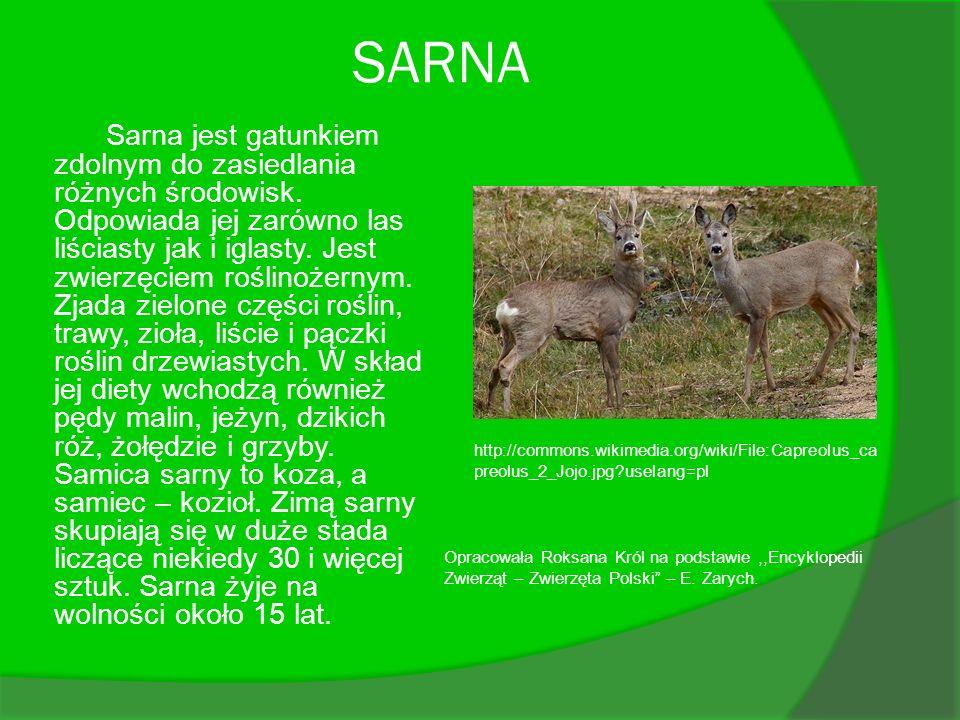 SARNA Sarna jest gatunkiem zdolnym do zasiedlania różnych środowisk. Odpowiada jej zarówno las liściasty jak i iglasty. Jest zwierzęciem roślinożernym