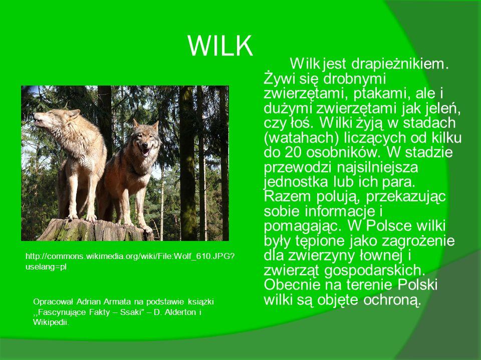 WILK Wilk jest drapieżnikiem. Żywi się drobnymi zwierzętami, ptakami, ale i dużymi zwierzętami jak jeleń, czy łoś. Wilki żyją w stadach (watahach) lic