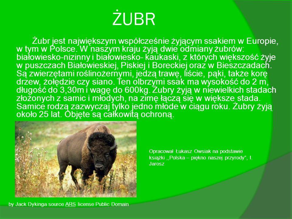 ŻUBR Żubr jest największym współcześnie żyjącym ssakiem w Europie, w tym w Polsce. W naszym kraju żyją dwie odmiany żubrów: białowiesko-nizinny i biał