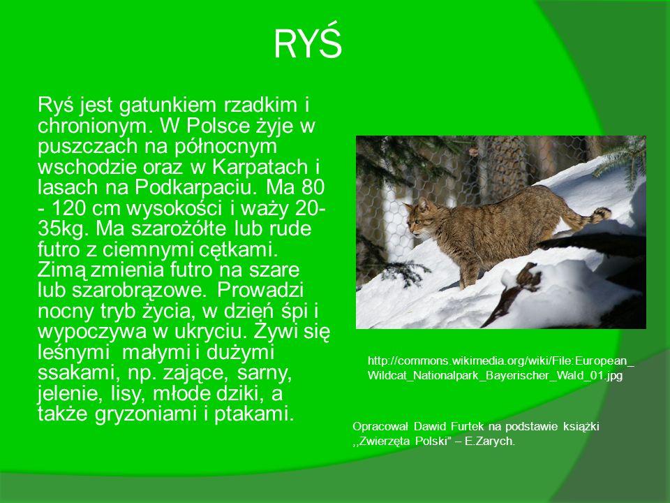 RYŚ Ryś jest gatunkiem rzadkim i chronionym. W Polsce żyje w puszczach na północnym wschodzie oraz w Karpatach i lasach na Podkarpaciu. Ma 80 - 120 cm