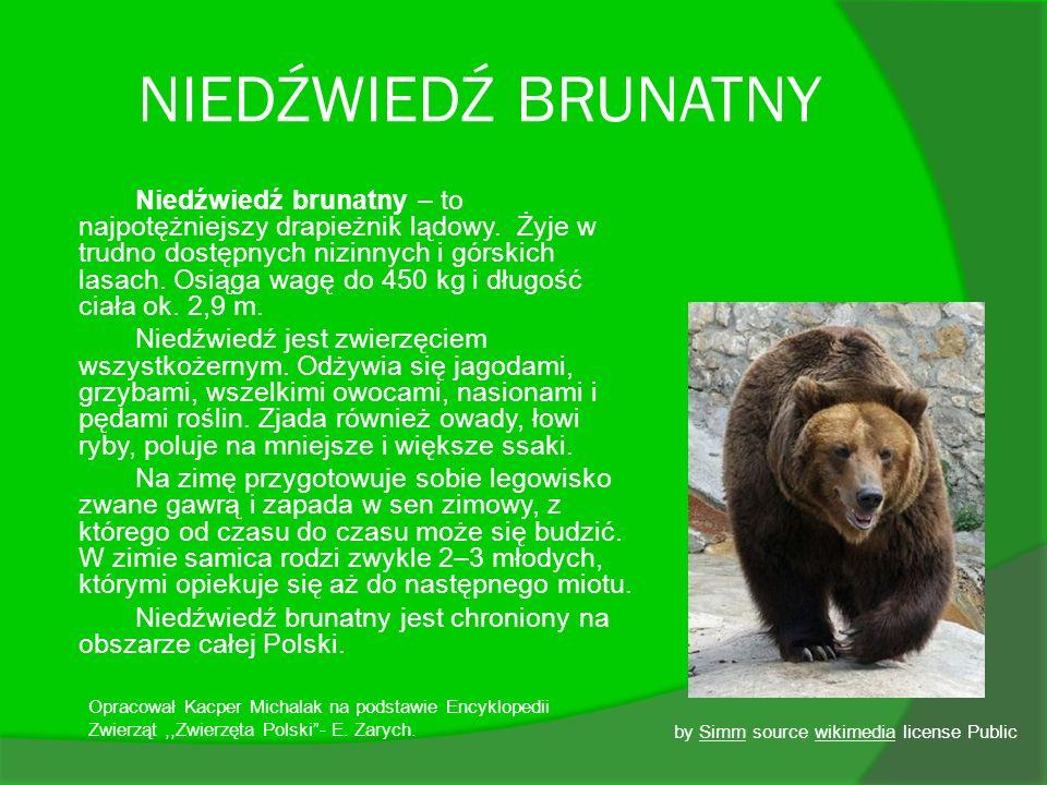 NIEDŹWIEDŹ BRUNATNY Niedźwiedź brunatny – to najpotężniejszy drapieżnik lądowy. Żyje w trudno dostępnych nizinnych i górskich lasach. Osiąga wagę do 4