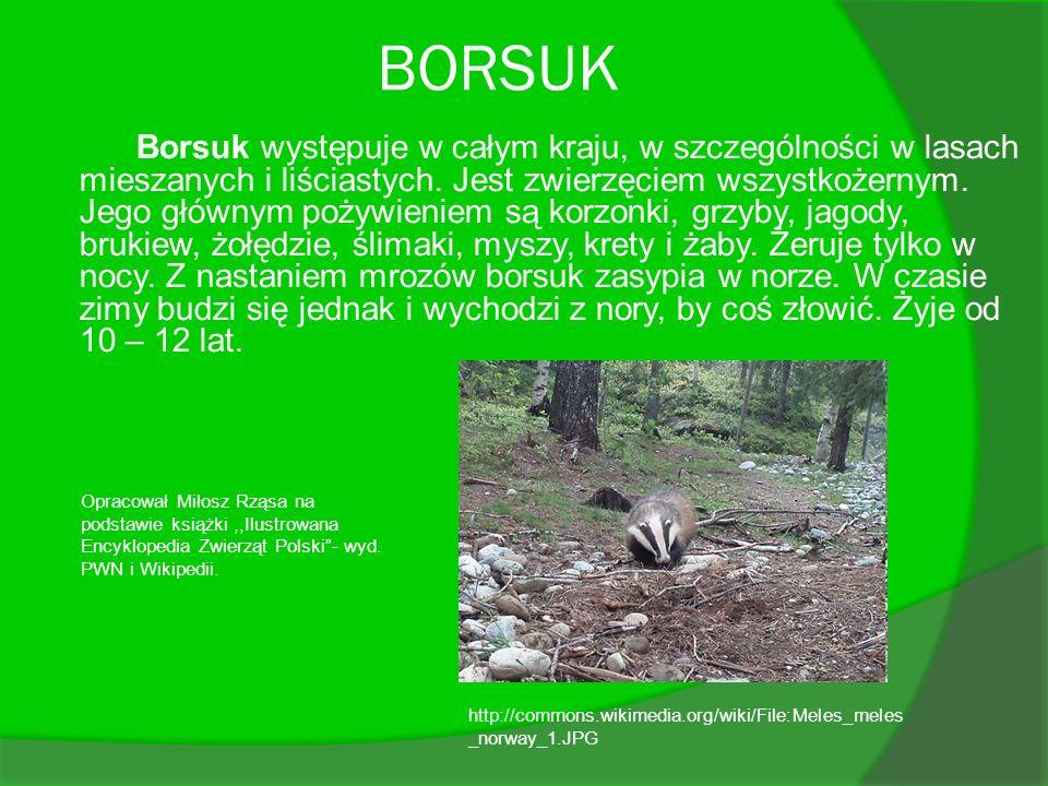 BORSUK Borsuk występuje w całym kraju, w szczególności w lasach mieszanych i liściastych. Jest zwierzęciem wszystkożernym. Jego głównym pożywieniem są