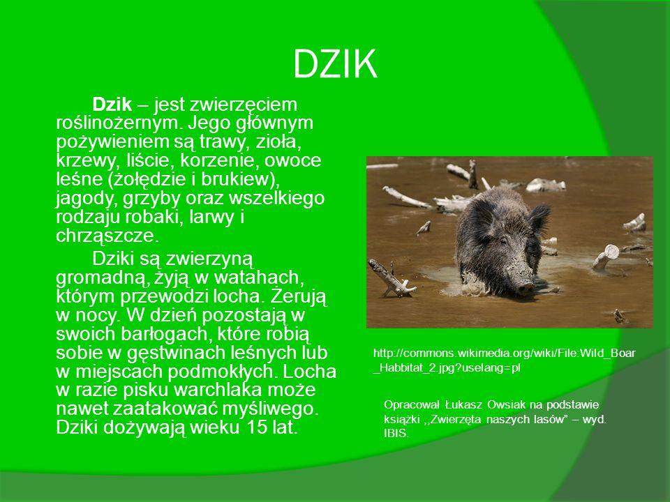 DZIK Dzik – jest zwierzęciem roślinożernym. Jego głównym pożywieniem są trawy, zioła, krzewy, liście, korzenie, owoce leśne (żołędzie i brukiew), jago