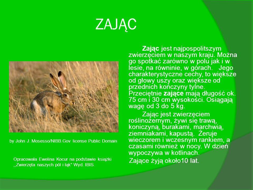 ZAJĄC Zając jest najpospolitszym zwierzęciem w naszym kraju. Można go spotkać zarówno w polu jak i w lesie, na równinie, w górach. Jego charakterystyc