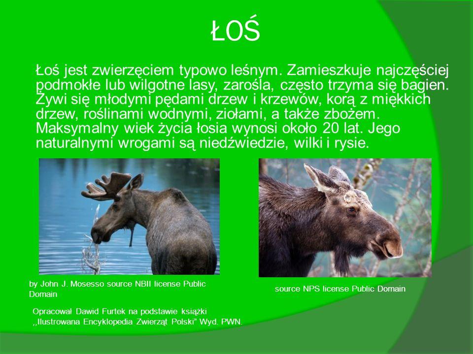 ŁOŚ Łoś jest zwierzęciem typowo leśnym. Zamieszkuje najczęściej podmokłe lub wilgotne lasy, zarośla, często trzyma się bagien. Żywi się młodymi pędami