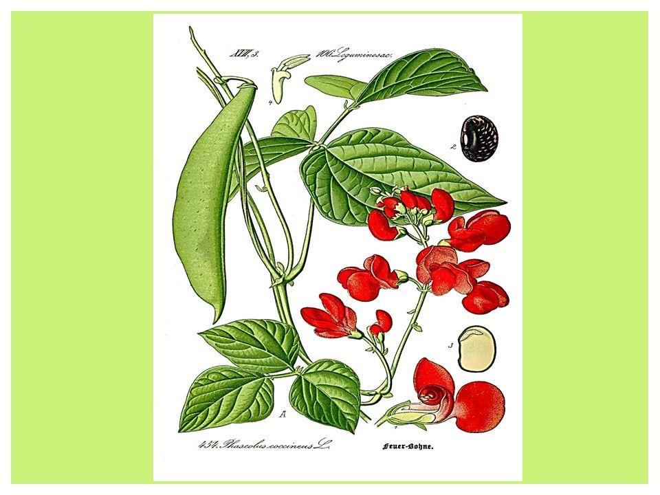 Fasola (Phaseolus L.) – rodzaj rośliny jednorocznej lub byliny należącej do rodziny bobowatych. Pochodzi z Ameryki Południowej i do Europy dotarła po
