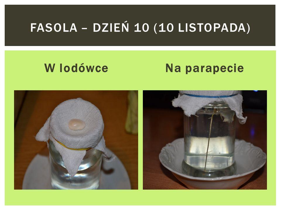 W lodówceNa parapecie FASOLA – DZIEŃ 9 (9 LISTOPADA)