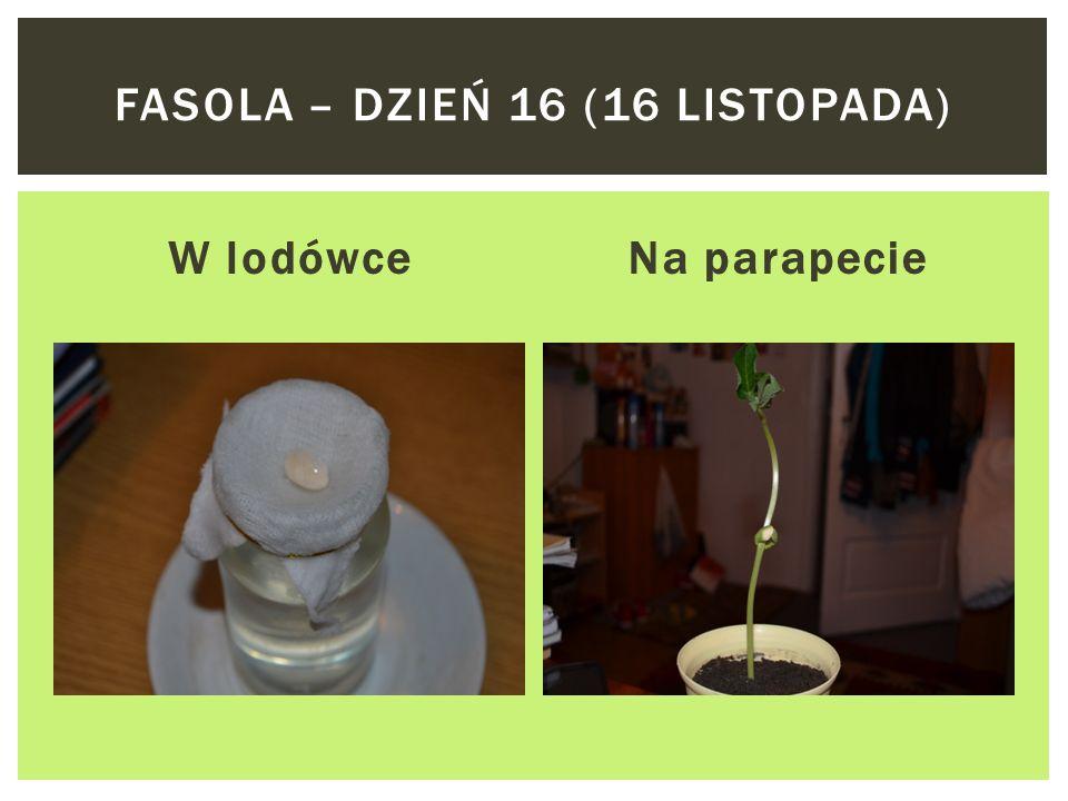 W lodówceNa parapecie FASOLA – DZIEŃ 14 (14 LISTOPADA)