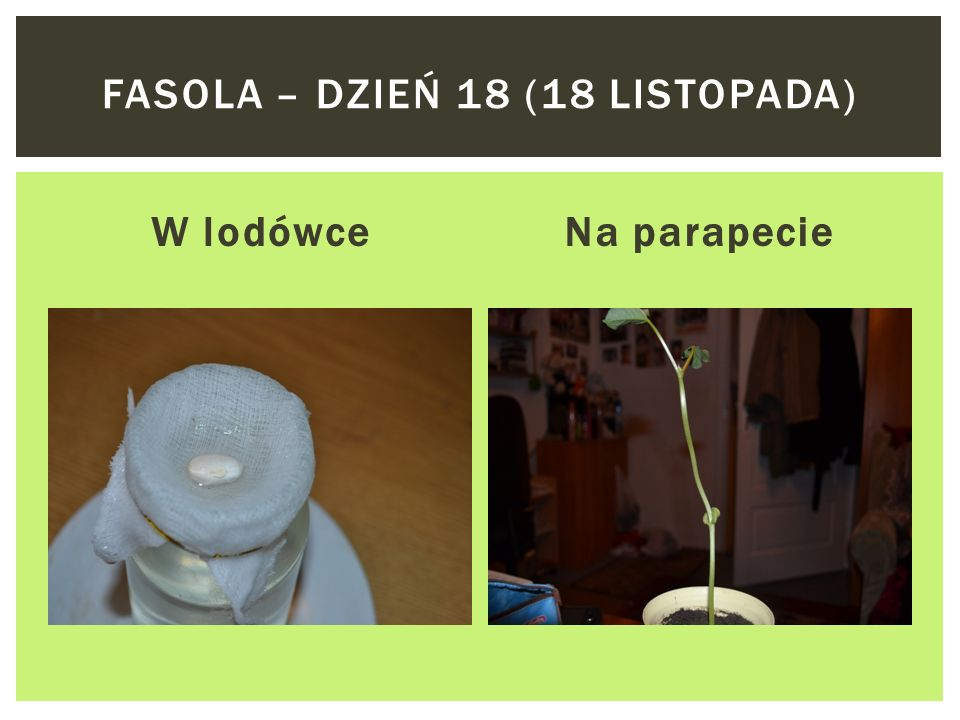 W lodówceNa parapecie FASOLA – DZIEŃ 16 (16 LISTOPADA)