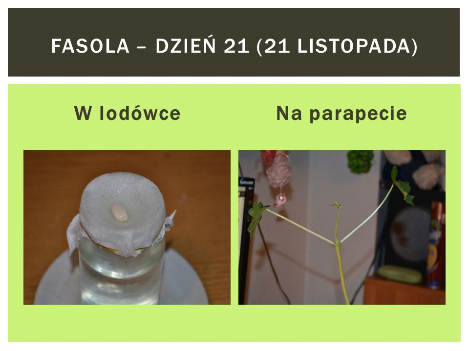 W lodówceNa parapecie FASOLA – DZIEŃ 18 (18 LISTOPADA)