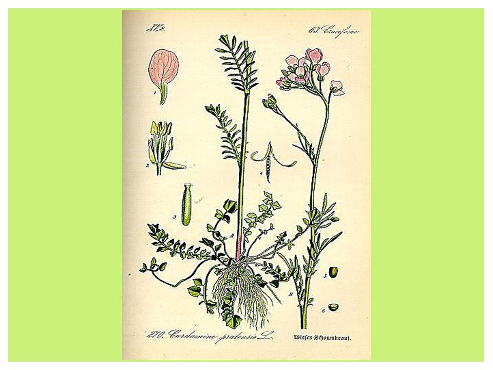 Rzeżucha znana jako pieprzyca, pochodzi z północno- wschodniej Afryki i południowo-zachodniej Azji.