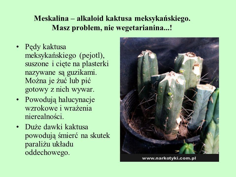 Meskalina – alkaloid kaktusa meksykańskiego. Masz problem, nie wegetarianina...! Pędy kaktusa meksykańskiego (pejotl), suszone i cięte na plasterki na