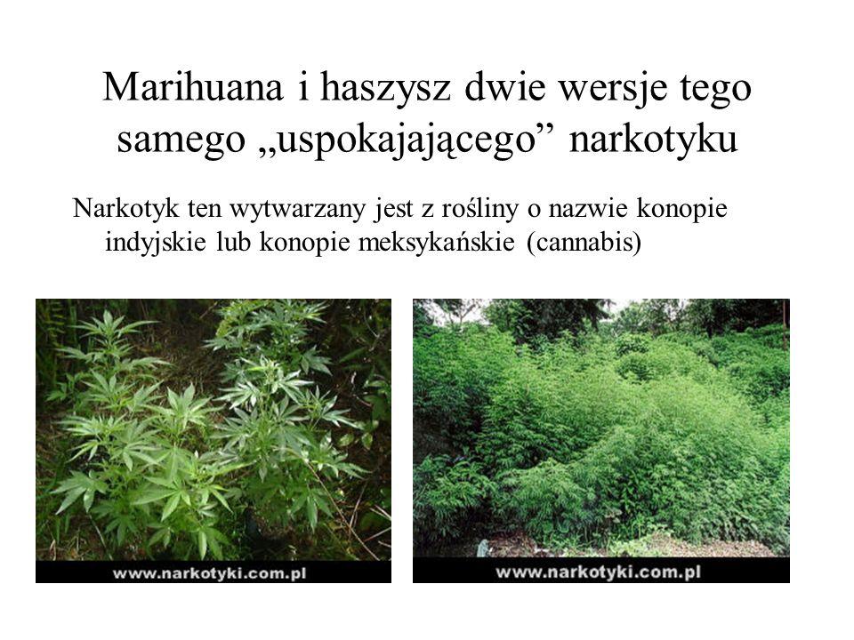 Marihuana i haszysz dwie wersje tego samego uspokajającego narkotyku Narkotyk ten wytwarzany jest z rośliny o nazwie konopie indyjskie lub konopie mek