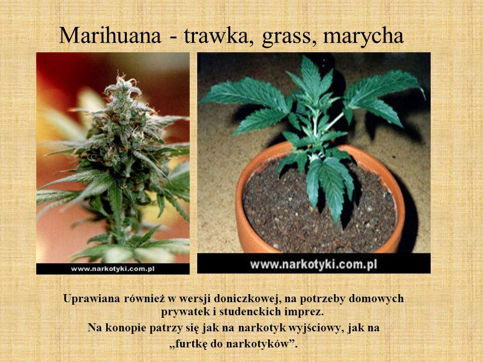 Marihuana - trawka, grass, marycha Uprawiana również w wersji doniczkowej, na potrzeby domowych prywatek i studenckich imprez. Na konopie patrzy się j