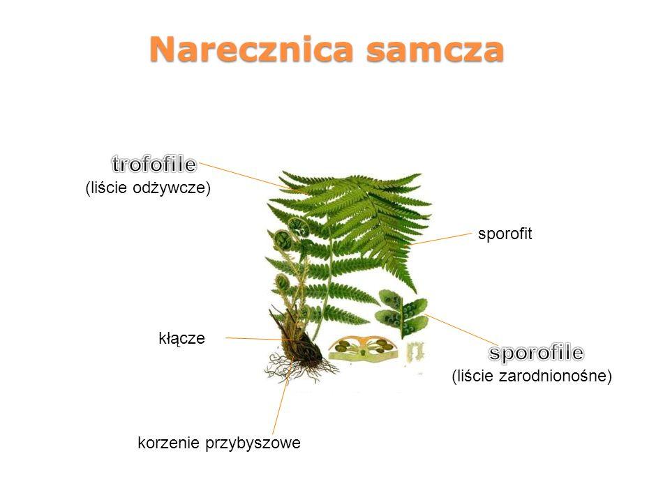 Narecznica samcza kłącze korzenie przybyszowe sporofit