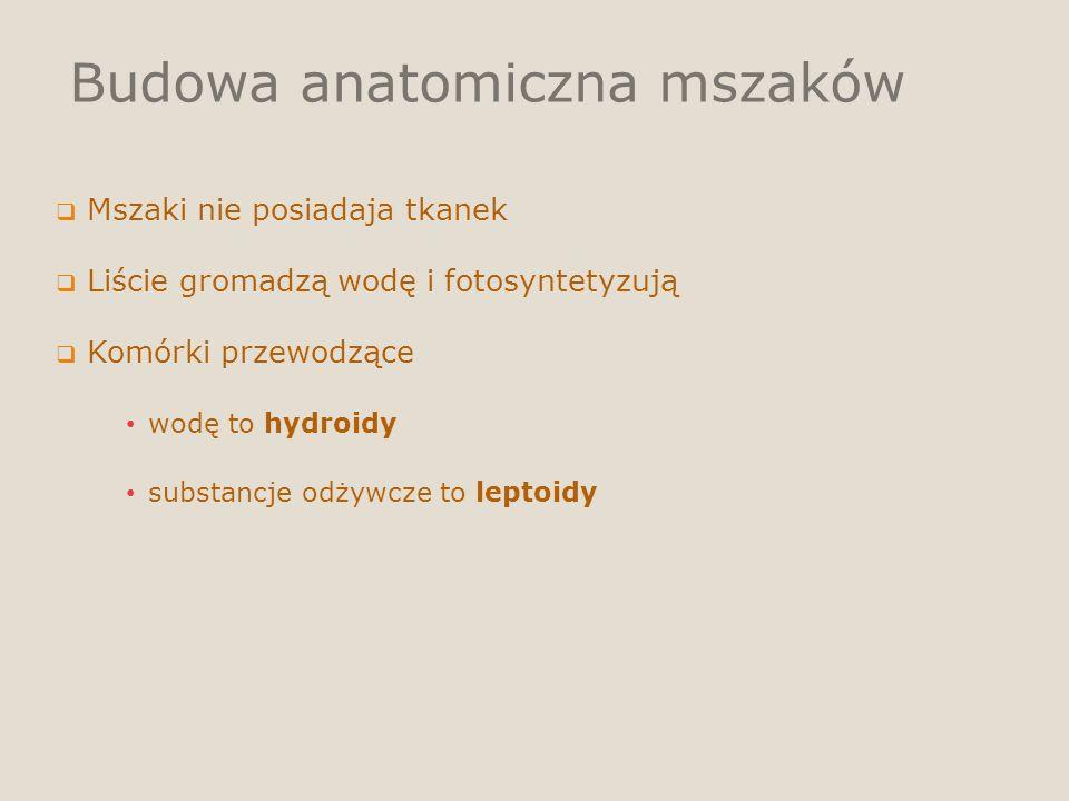 Budowa anatomiczna mszaków Mszaki nie posiadaja tkanek Liście gromadzą wodę i fotosyntetyzują Komórki przewodzące wodę to hydroidy substancje odżywcze