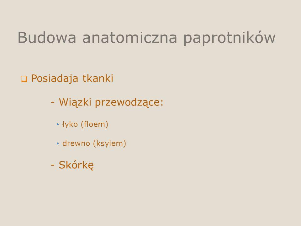 Budowa anatomiczna paprotników Posiadaja tkanki - Wiązki przewodzące: łyko (floem) drewno (ksylem) - Skórkę